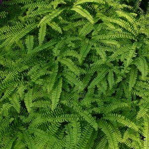 northern-maidenhair-fern-adiantum-pedatum