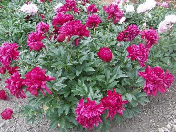 peony-karl-rosenfield-paeonia-lactiflora