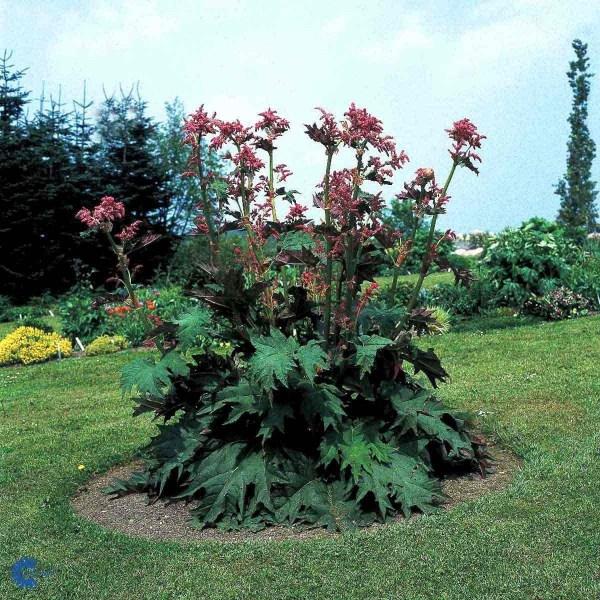 rhubarb-rheum-palmatum