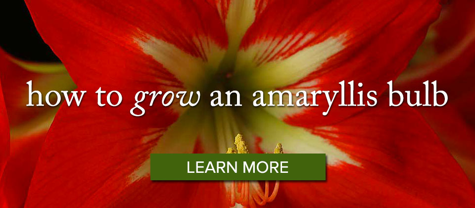 Amaryllis-Bulb_learnmore