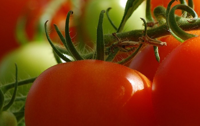 tomatoes_BLANK