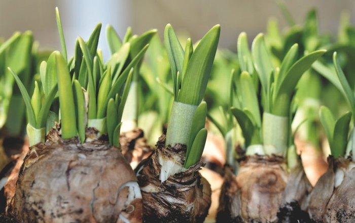 daffodil-5176511_1920