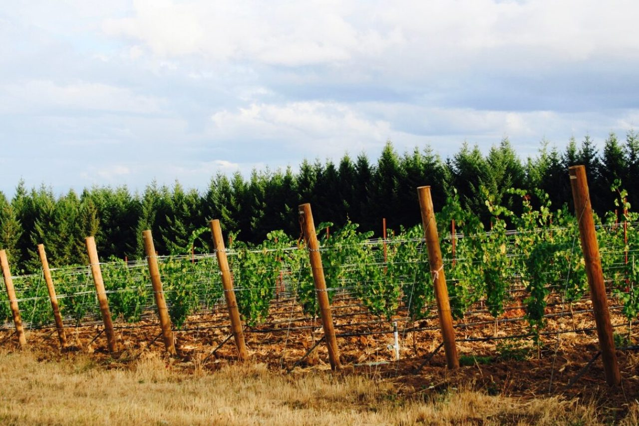 vineyard trees 2