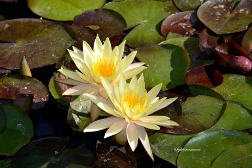 Water Lilies photo by Sylvestermouse Cynthia