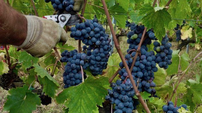 Wijnoogst Vino Nobile di Montepulciano DOCG