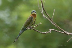 Blue-tailed Bee-eater