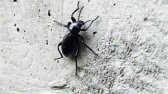 Adult Darkling Beetle