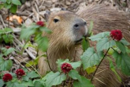 capybararedi
