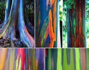 Troncs d'Eucalyptus deglupta