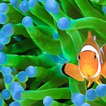 Symbiosis Diving Clown fish anemone