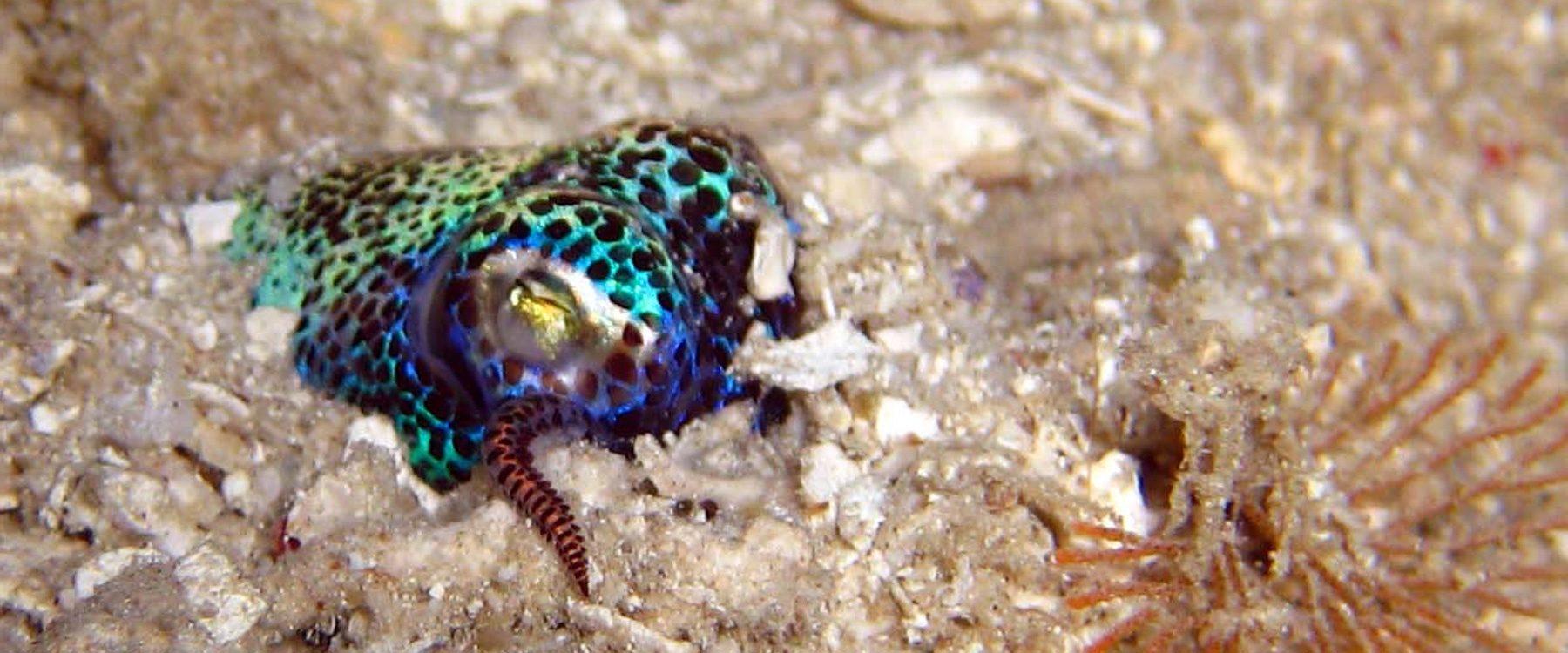 Bobtail_Squid_Indonesia_Symbiosis_Diving