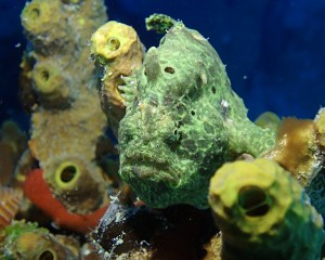 Longlure Frogfish, St. Croix, Frederiksted Pier, Symbiosis Diving
