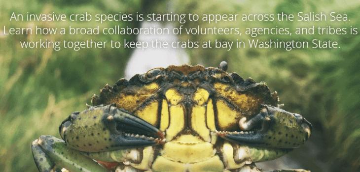 European green crab in Puget Sound; StoryMap title slide