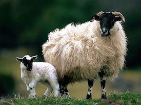Blackface-Sheep-Scotland