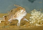 new-handfish-species-fish-spotted_20879_600x450[1]