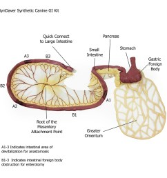 canine gi tract stomach pancreas intestine  [ 1024 x 1024 Pixel ]