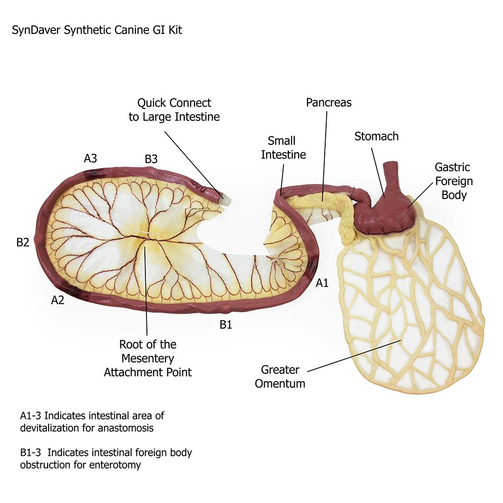 hight resolution of canine gi tract stomach pancreas intestine