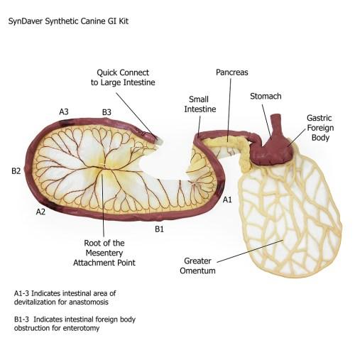 small resolution of canine gi tract stomach pancreas intestine
