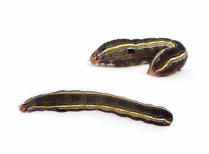 Armyworm-Jackson-Madison-Armyworm