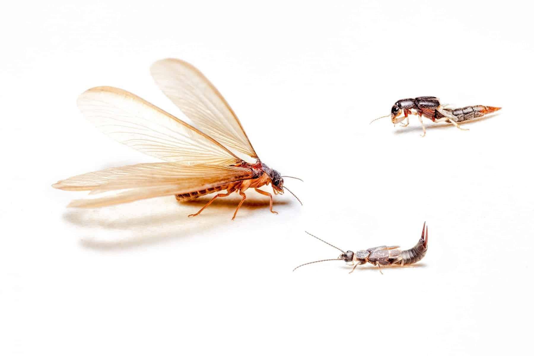 Termite-Brandon-Termite-Madison