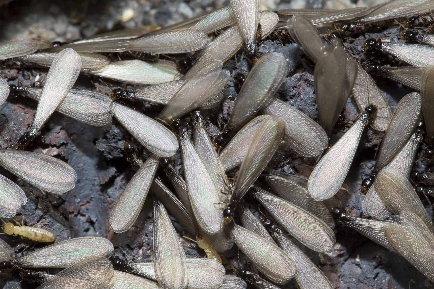 Termite-Service-Ridgeland-MS-Madison-Termite