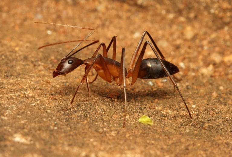 Ant-Exterminator-Jackson-Ridgeland-Pest