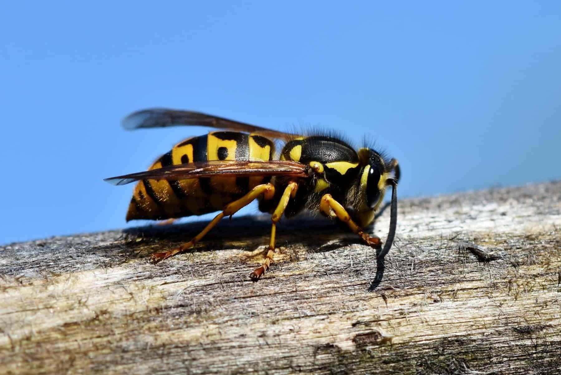 wasp-yellow jacket-removal-jackson-ms