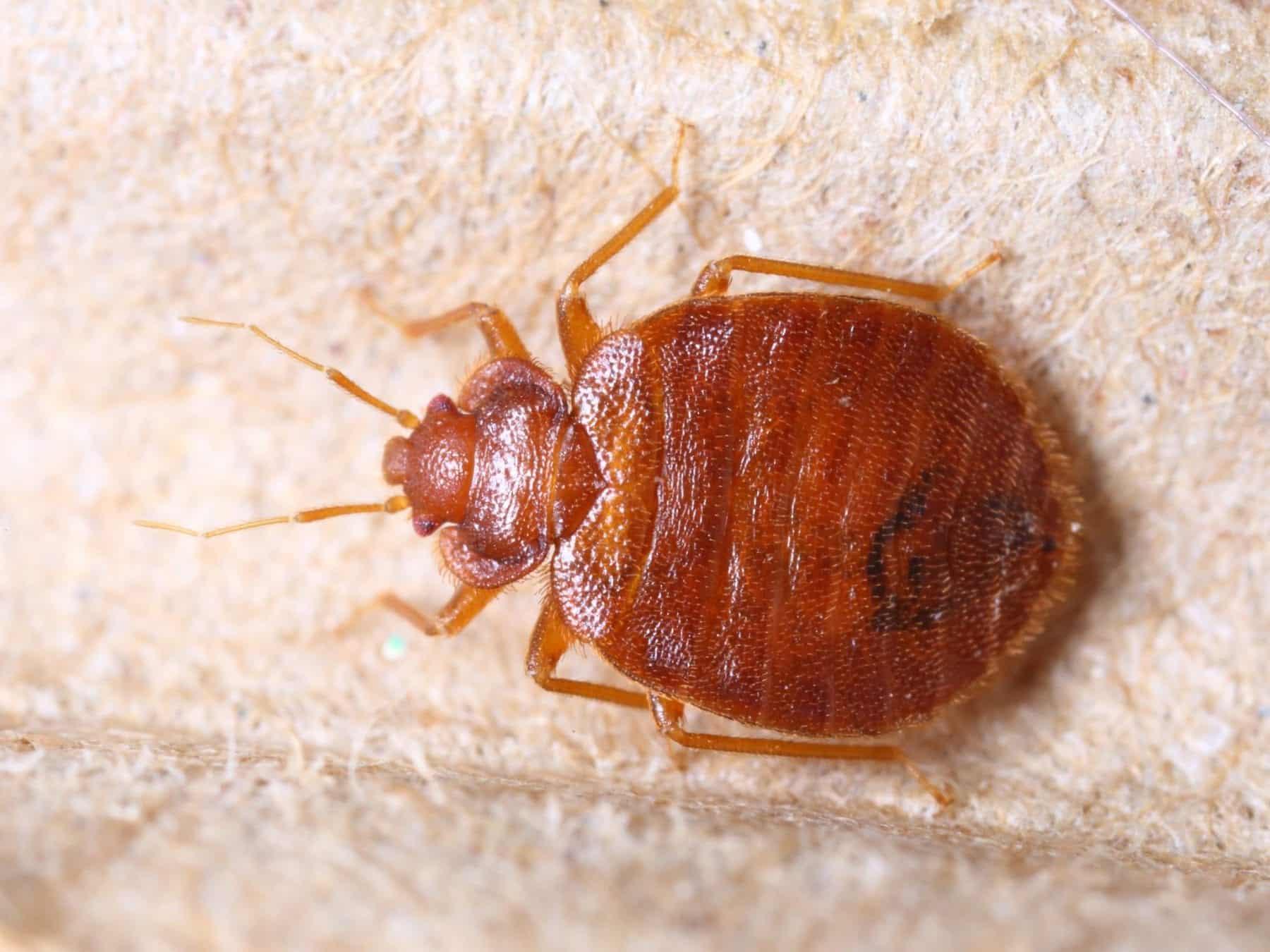 bed-bug-exterminator-near-me