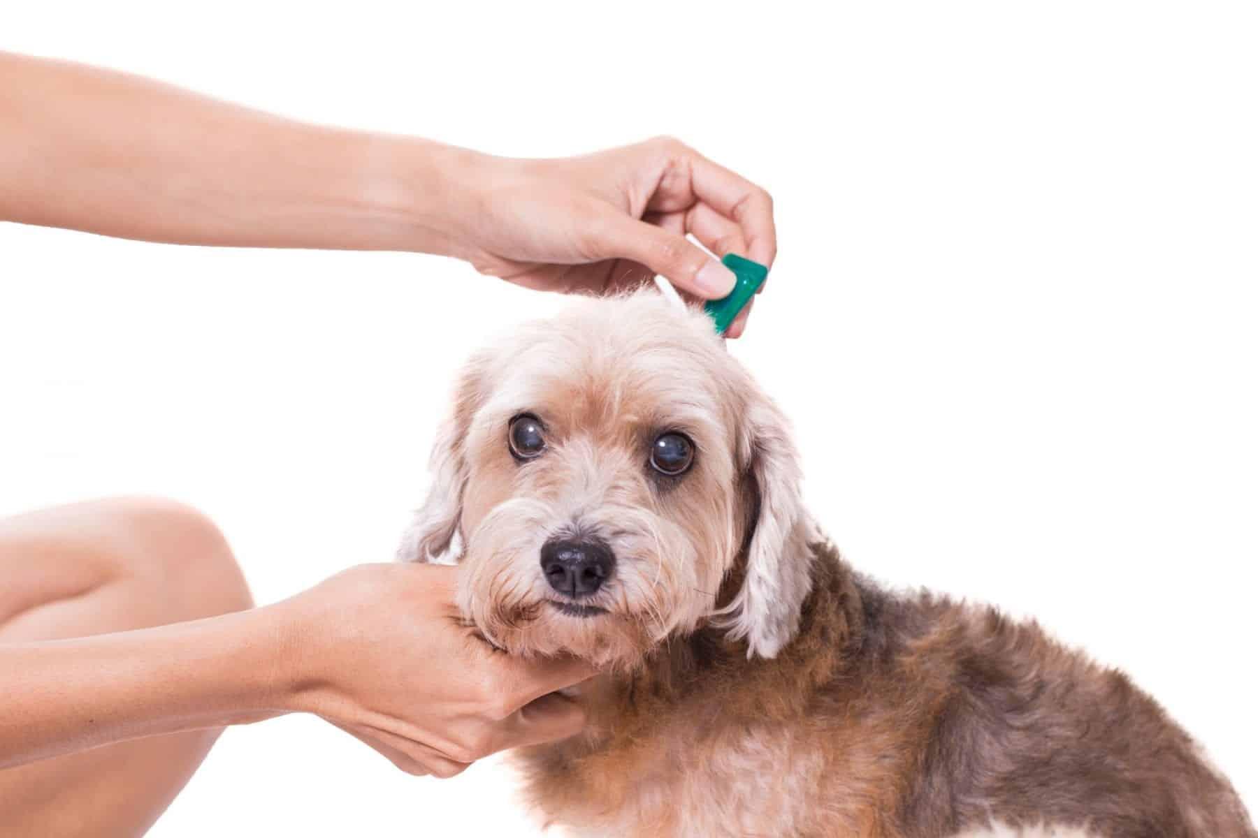 flea bites on dogs