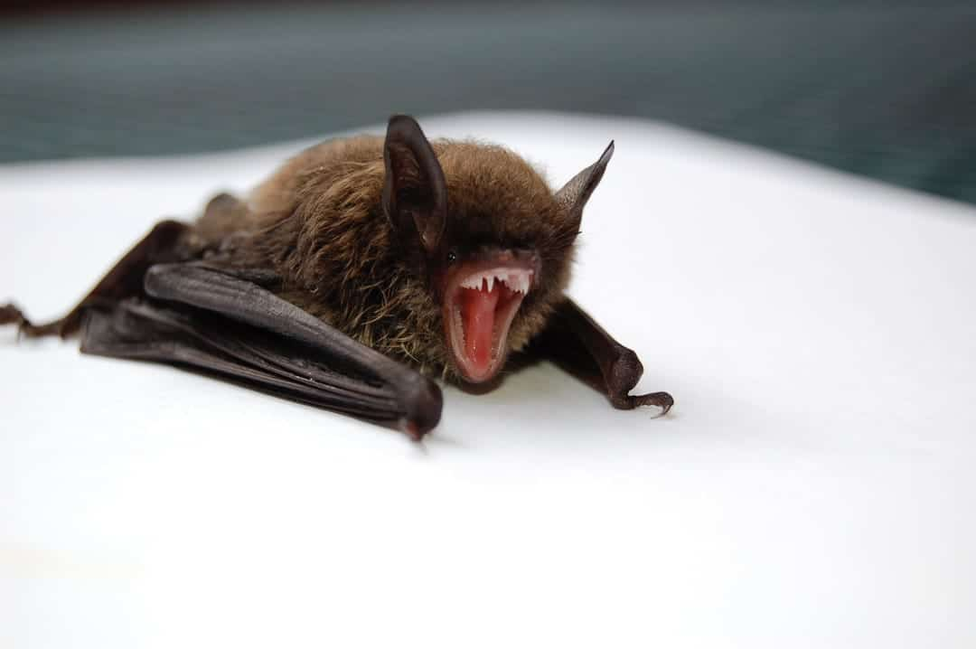 brown-and-black-bat-opening-mo