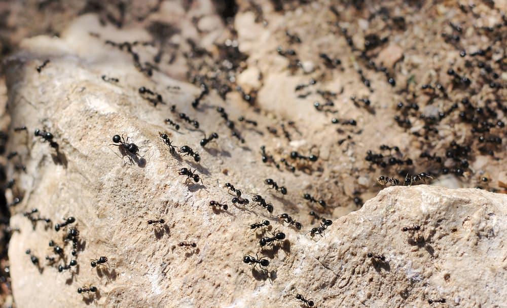 Thousands,Of,Black,Ants,On,Stony,Ground