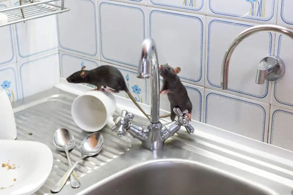 Black,Rats(rattus,Norvegicus),,Dirty,White,Plates,And,Cups,On,A