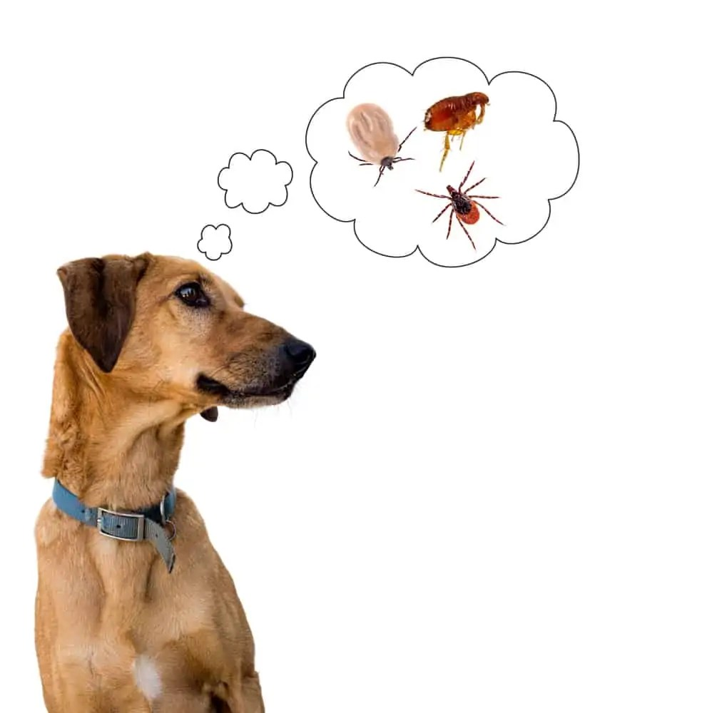 Dog,On,White,Considering,The,Problem,Of,Tick,Insects,And