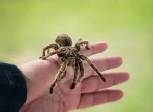 biggest-spiders-in-word-synergy-jackson-pest-control