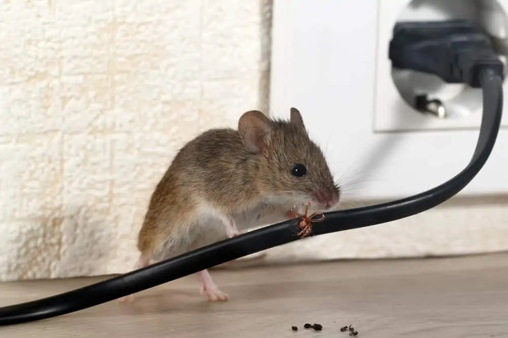 Closeup,Mouse,Gnaws,Wire,In,An,Apartment,House,On,The