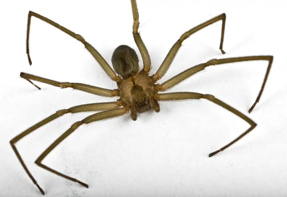 Macro,Shot,Of,A,Brown,Recluse,Spider,On,White