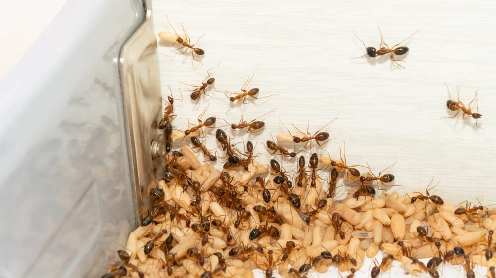 Anoplolepis,Gracilipes,,Yellow,Crazy,Ants,And,Eggs,In,Kitchen,concept,For