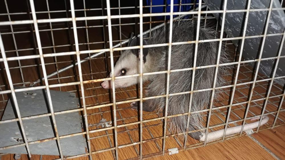 Possum,In,A,Metal,Trap