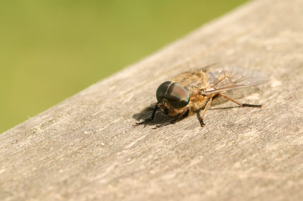 A,Hunting,Narrow-winged,Horsefly,(tabanus,Maculicornis),Perching,On,A,Wooden
