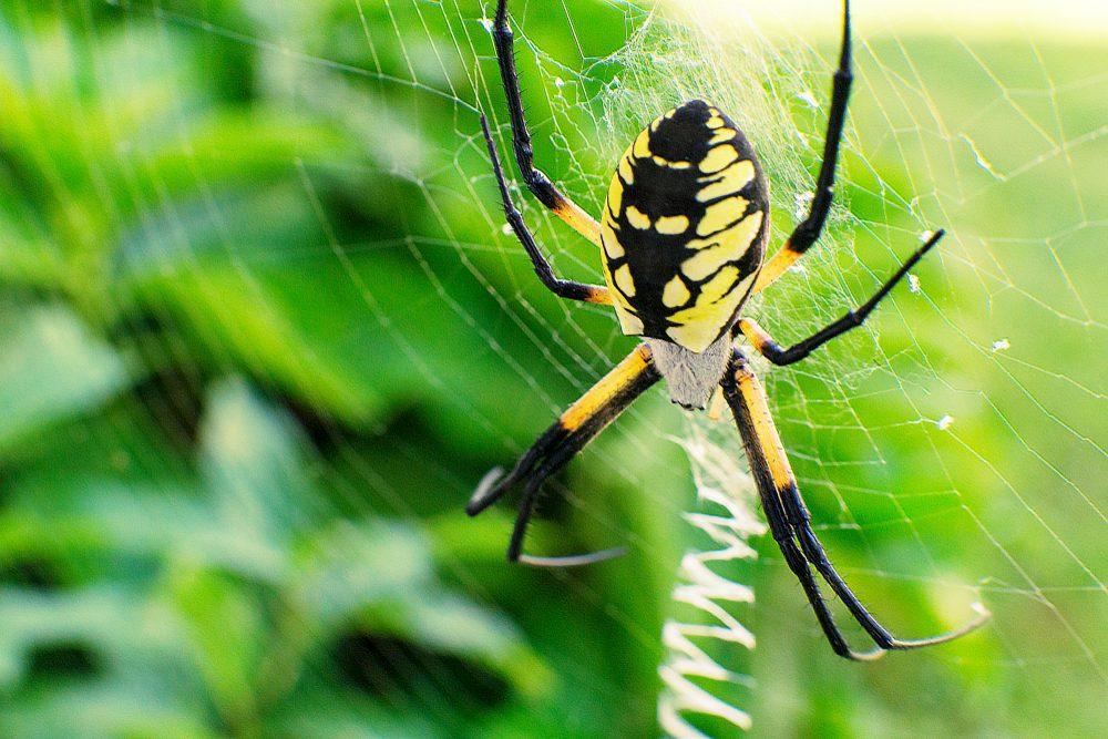 Steelers,Spider,Alien,Like,Black,And,Yellow,Garden,Spider,Belongs