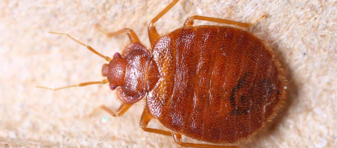 bed-bug-jackson-pest-service