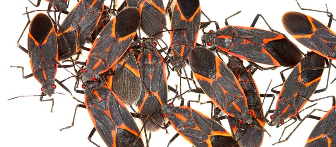 Boxelder,Bugs,(boisea,Trivittata)