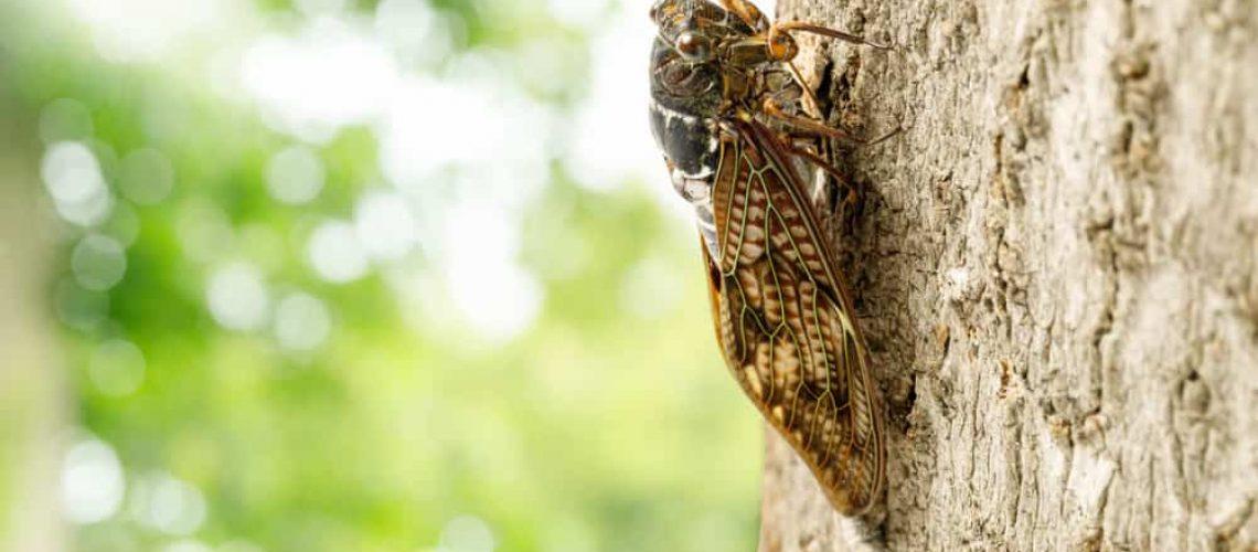 Large,Brown,Cicada
