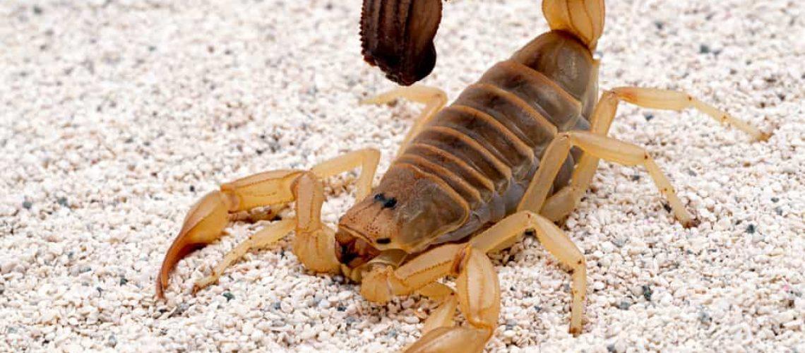 Highly,Venomous,Fattail,Scorpion,,Androctonus,Australis,,On,Sand,,3/4,View.
