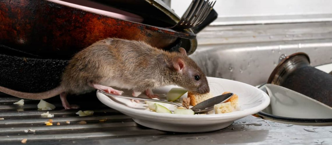 Close-up young rats (Rattus norvegicus) sniffs leftovers on a plate on sink at the kitchen. Fight with rodents in the apartment. Extermination.