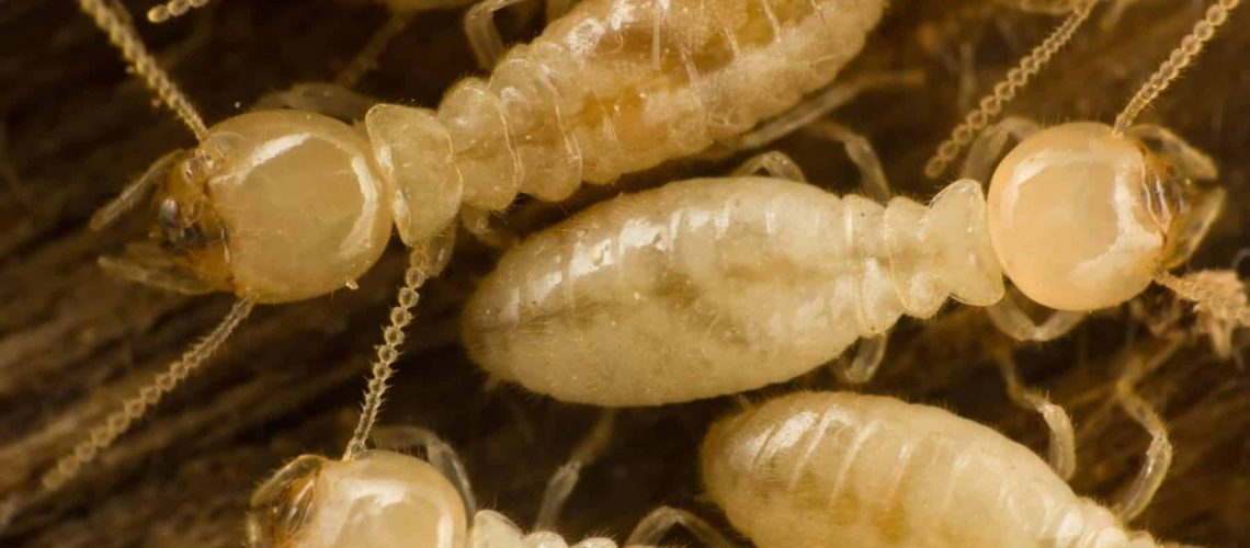 Termite-Ridgeland-MS-Termite-Jackson