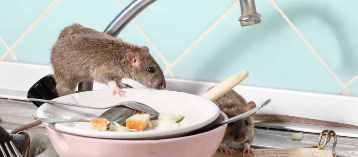 Two young rats (Rattus) near the water faucet and dishes with the leftovers of food on a plate on sink at the kitchen. Fight with rodents in the apartment. Extermination.