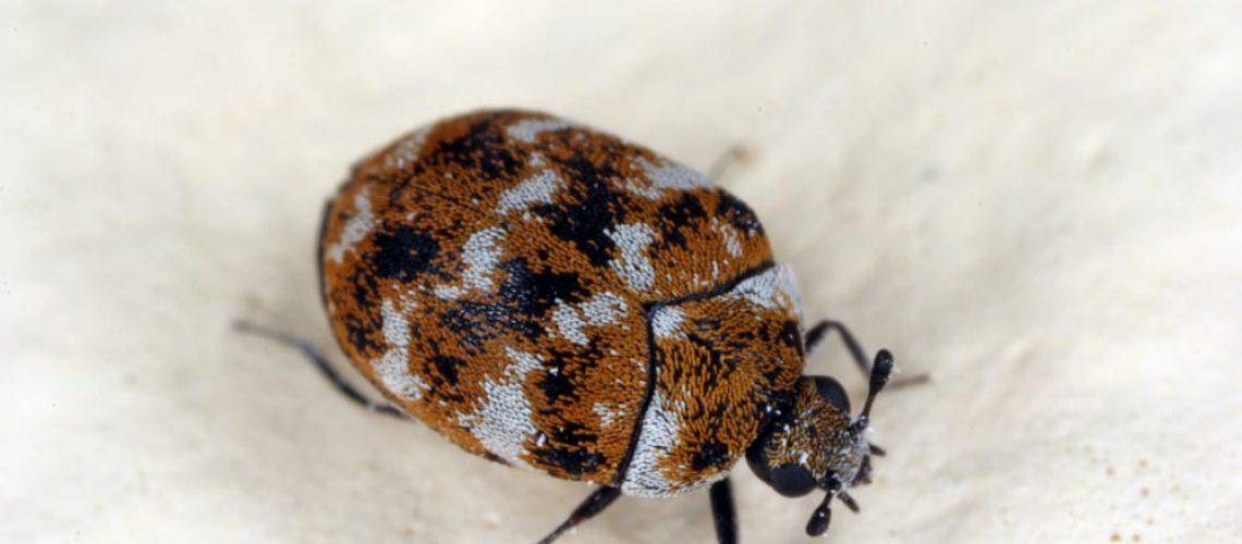 Varied,Carpet,Beetle,Anthrenus,Verbasci,Home,And,Storage,Pest.,The