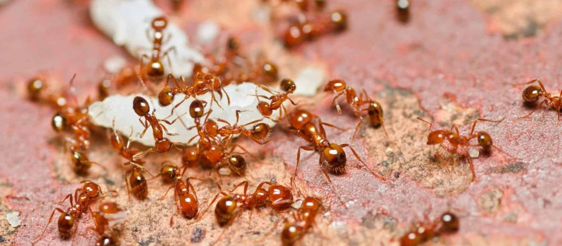 fire ant teamwork in nature or in the garden