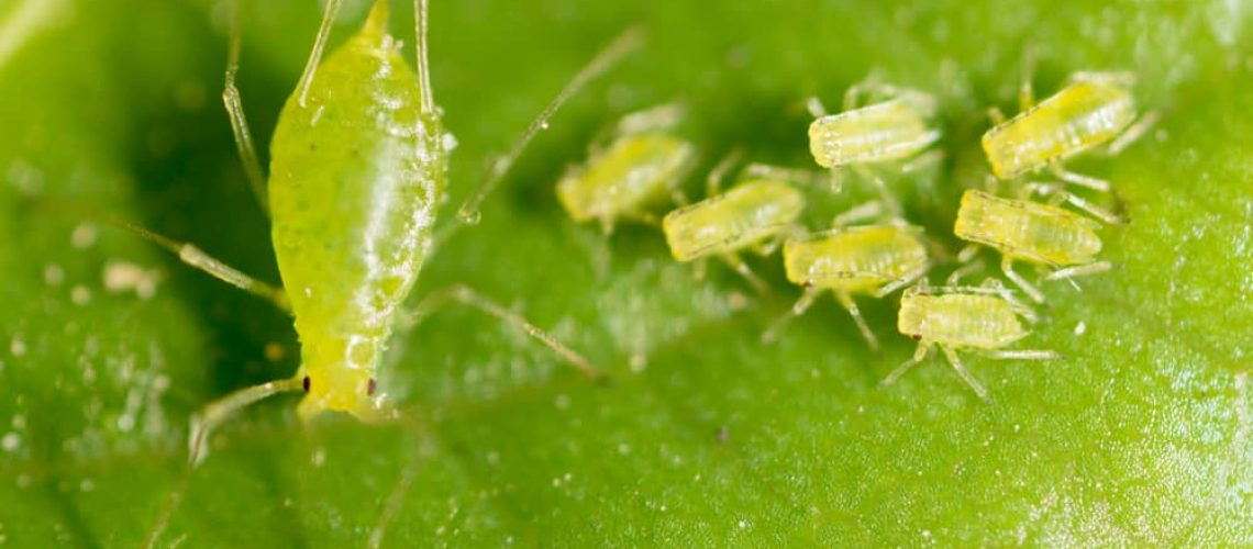 Small,Aphid,On,A,Green,Leaf,In,The,Open,Air